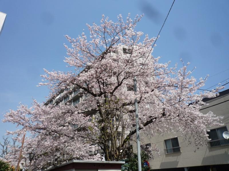 山谷堀公園の桜が満開